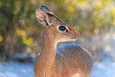 The cutest antelope Dik-Dik — Stock Photo