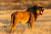 Close-up lion male resting after catch — Stockfoto
