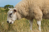 Sheep eating grass in summer close-up — Stock Photo