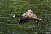Canada Goose, Branta canadensis — Stock Photo