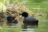 Eurasian Coot, Fulica atra — Stock Photo