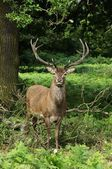 Red Deer, Cervus elaphus — Stock Photo