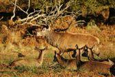 红鹿、 马鹿 — 图库照片