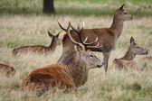 Red Deer, Cervus elaphus — Stock Photo