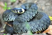 Grass Snake, Natrix natrix — Stock Photo
