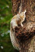 Gray Squirrel, Sciurus carolinensis — ストック写真
