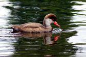 Red-crested Pochard, Netta rufina — ストック写真