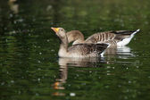 Greylag Goose, Anser anser — Stock Photo