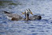Bar-headed Goose, Anser indicus — Stock Photo