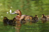 Common Pochard, Aythya ferina — Stock Photo