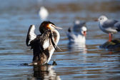 Great Crested Grebe, Podiceps cristatus — Foto Stock