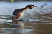 Great Crested Grebe, Podiceps cristatus — Stockfoto