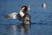 Great Crested Grebe, Podiceps cristatus — Stock Photo