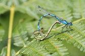 Common Blue Damselfly, Common Bluet, Northern Bluet, Enallagma cyathigerum — Stock Photo