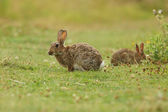 European rabbit, Common rabbit, Bunny, Oryctolagus cuniculus — Stockfoto