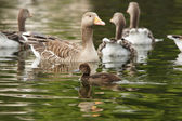 Tufted Duck, Aythya fuligula, Greylag Goose, Anser anser — Stock Photo