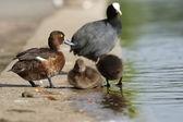 Tufted Duck, Aythya fuligula — Stock Photo