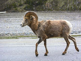 A big horn sheep ram in Jasper National Park, Alberta — Stock fotografie