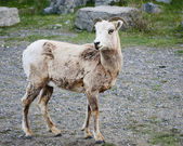 Ewe of the big horn sheep in Jasper, Alberta, Canada — Stock Photo