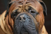 Pure bred bullmastiff dog portrait close-up on dark background — Zdjęcie stockowe