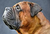 Pure bred bullmastiff dog portrait close-up on dark background — Stockfoto
