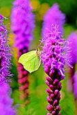 Common brimstone butterfly sitting on a purple flower — Stock Photo