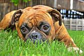 Pure bred boxer dog portrait close-up on natural background — Stok fotoğraf