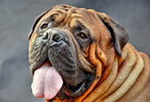 Pure bred bullmastiff dog portrait close-up on dark background — Stok fotoğraf