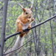 Постер, плакат: Red squirrel