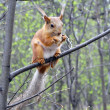 ������, ������: Red squirrel