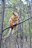 Röda ekorren — Stockfoto
