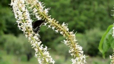 Swallowtail Butterfly — Stock Video
