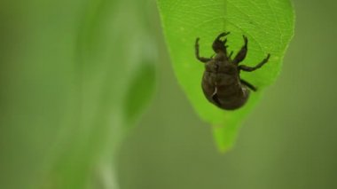 Cicada Skin — Stockvideo