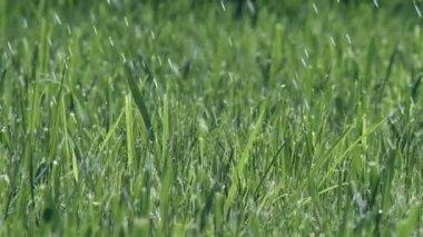Rain Grass — Stock Video