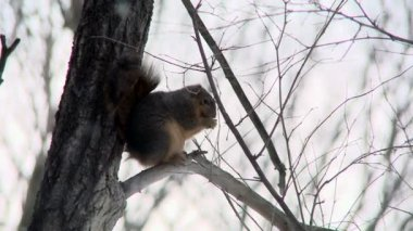 Small squirrel — Stock Video