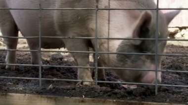 Potbellied pigs — Stock Video