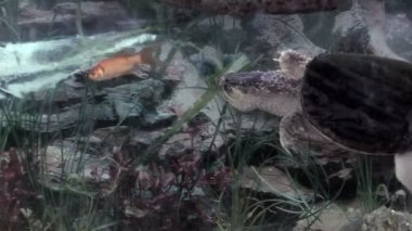 żółw jaszczurowaty — Wideo stockowe