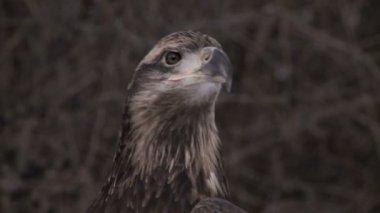 Bald eagle — Stock Video