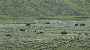 Yellowstone River and Buffalo — Stock Video