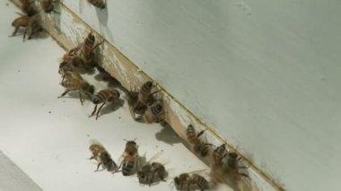 Honey Bees — ストックビデオ