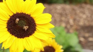 Sunflower details — Stock Video