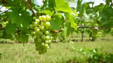 Grapes For Wine — Stock Video
