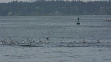 Gulls on Water — Stock Video