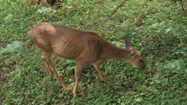 Wild Deer — Stock Video