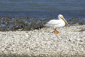 White Pelican and Oyster Catcher — Stock Photo
