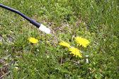 Spraying Dandelions — Stock Photo