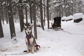 Husky and Sled — Stock Photo