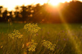 Wild flowers into a sunset sky — Stock Photo