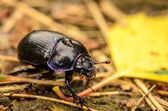 Beetle in Forest — Stock Photo