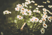 Pretty wildflowers done with a soft vintage filter — Zdjęcie stockowe